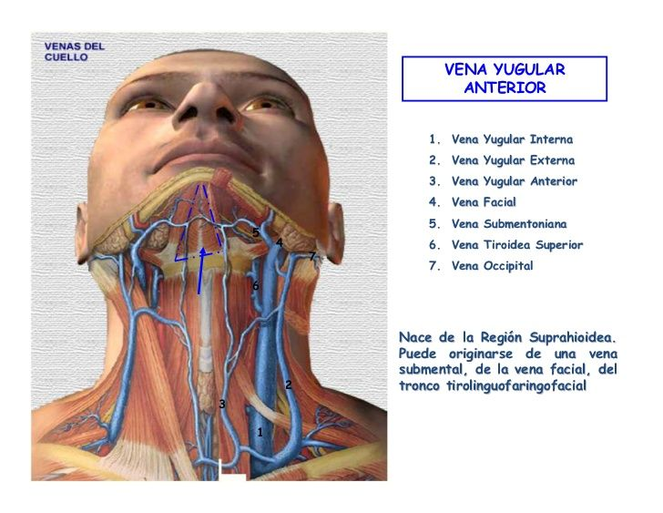 Las venas del cuello - documentación medical