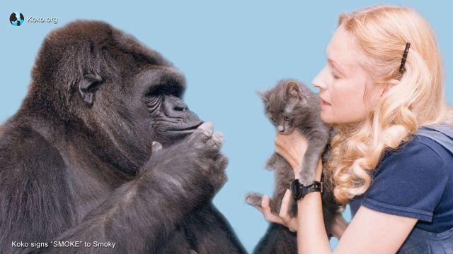 Koko, Penny y Smoky - Foto Gorilla Fundation