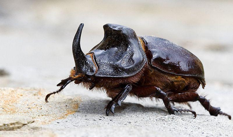 Educación falible - Un escarabajo rinoceronte - Origen desconocido