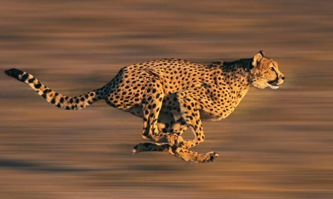 Distancia y tiempo - Un guepardo - Origen desconocido